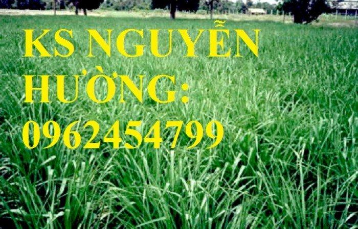 Cung cấp giống cỏ Ubon Paspalum, cỏ chịu ngập, cỏ chịu nước, hạt giống cỏ chịu ngập, giao cây toàn4