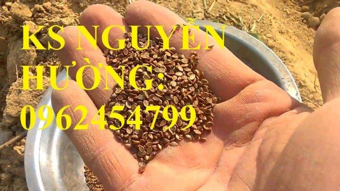 Cung cấp giống cỏ Ubon Paspalum, cỏ chịu ngập, cỏ chịu nước, hạt giống cỏ chịu ngập, giao cây toàn2