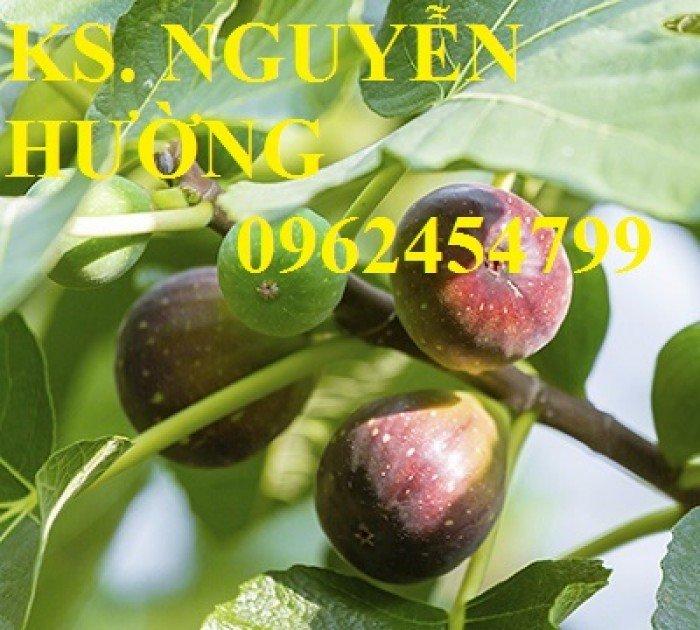 Cung cấp cây giống sung mỹ, sung ngọt, kỹ thuật trồng sung mỹ cho năng suất cao, giao cây toàn quốc4