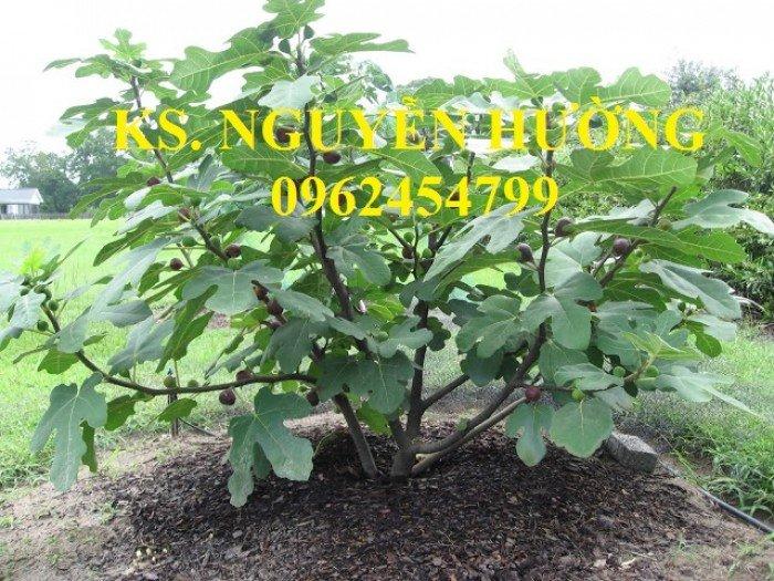 Cung cấp cây giống sung mỹ, sung ngọt, kỹ thuật trồng sung mỹ cho năng suất cao, giao cây toàn quốc5