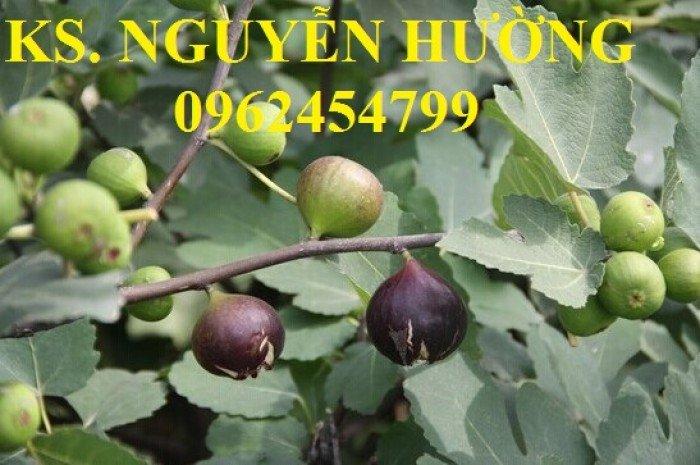 Cung cấp cây giống sung mỹ, sung ngọt, kỹ thuật trồng sung mỹ cho năng suất cao, giao cây toàn quốc7