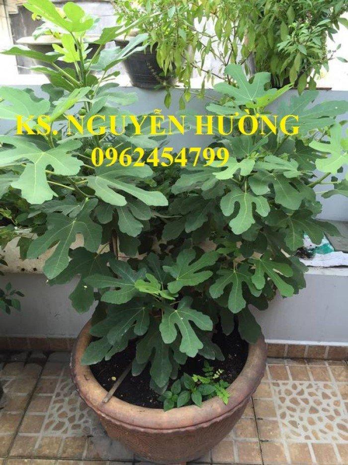Cung cấp cây giống sung mỹ, sung ngọt, kỹ thuật trồng sung mỹ cho năng suất cao, giao cây toàn quốc1
