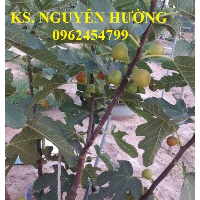 Cung cấp cây giống sung mỹ, sung ngọt, kỹ thuật trồng sung mỹ cho năng suất cao, giao cây toàn quốc3