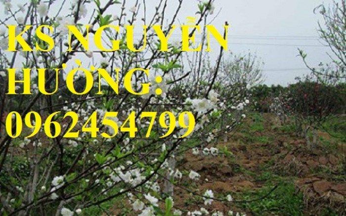 Cung cấp cây giống đào bạch, cây giống đào trắng, địa chỉ cung cấp cây chất lượng - giao cây toàn quốc4