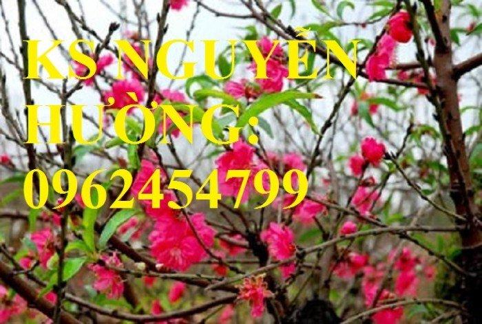 Cung cấp cây giống đào bích, cây hoa đào bích trồng chơi tết, cây giống chất lượng phát triển tốt5