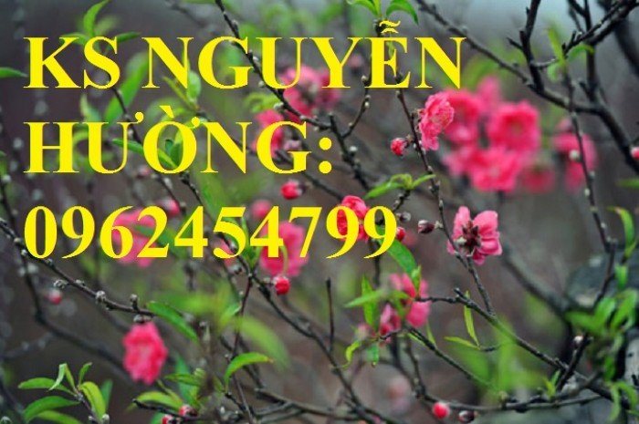 Cung cấp cây giống đào bích, cây hoa đào bích trồng chơi tết, cây giống chất lượng phát triển tốt4