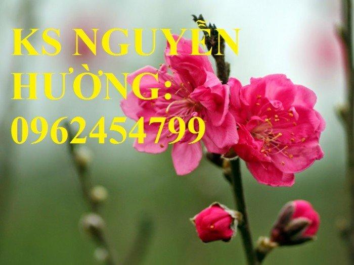 Cung cấp cây giống đào bích, cây hoa đào bích trồng chơi tết, cây giống chất lượng phát triển tốt1