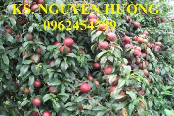 Cung cấp cây giống mận hậu, mận tam hoa, mận cho năng suất cao, giao cây toàn quốc11
