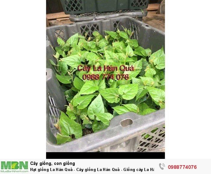 Hạt giống La Hán Quả - Cây giống La Hán Quả - Giống cây La Hán Quả0
