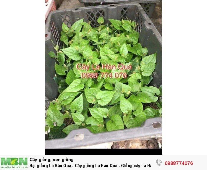 Hạt giống La Hán Quả - Cây giống La Hán Quả - Giống cây La Hán Quả1