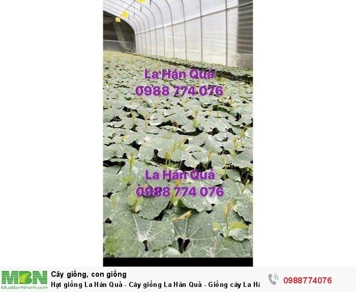 Hạt giống La Hán Quả - Cây giống La Hán Quả - Giống cây La Hán Quả2