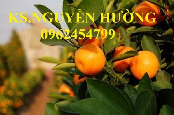 Cung cấp cây giống quất chua, quất ngọt, kỹ thuật trồng cây quất, giao cây toàn quốc24