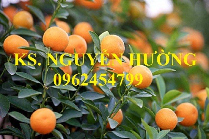 Cung cấp cây giống quất chua, quất ngọt, kỹ thuật trồng cây quất, giao cây toàn quốc23