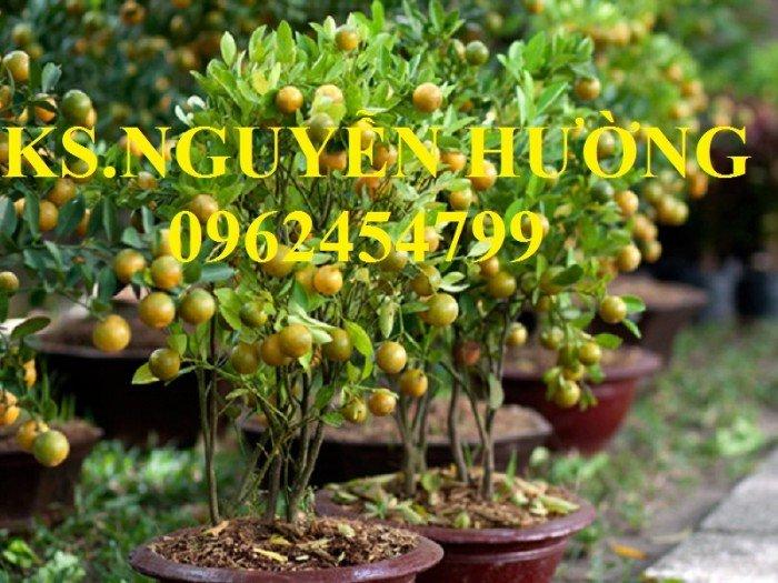 Cung cấp cây giống quất chua, quất ngọt, kỹ thuật trồng cây quất, giao cây toàn quốc21