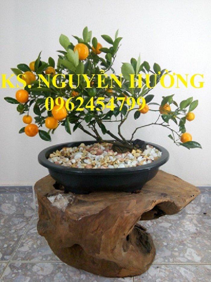 Cung cấp cây giống quất chua, quất ngọt, kỹ thuật trồng cây quất, giao cây toàn quốc3