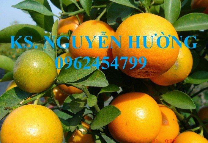 Cung cấp cây giống quất chua, quất ngọt, kỹ thuật trồng cây quất, giao cây toàn quốc19