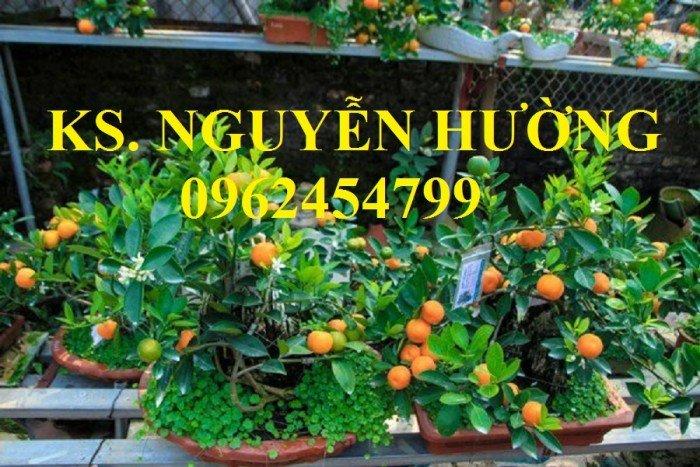 Cung cấp cây giống quất chua, quất ngọt, kỹ thuật trồng cây quất, giao cây toàn quốc17
