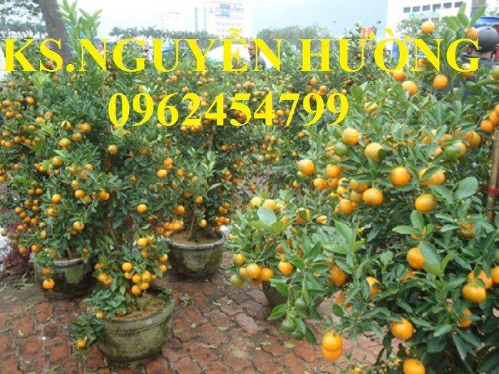 Cung cấp cây giống quất chua, quất ngọt, kỹ thuật trồng cây quất, giao cây toàn quốc4