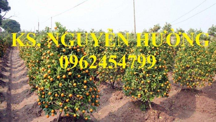 Cung cấp cây giống quất chua, quất ngọt, kỹ thuật trồng cây quất, giao cây toàn quốc20