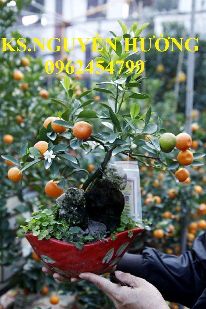 Cung cấp cây giống quất chua, quất ngọt, kỹ thuật trồng cây quất, giao cây toàn quốc1