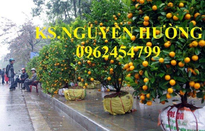 Cung cấp cây giống quất chua, quất ngọt, kỹ thuật trồng cây quất, giao cây toàn quốc14
