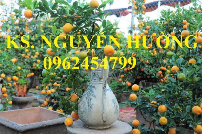 Cung cấp cây giống quất chua, quất ngọt, kỹ thuật trồng cây quất, giao cây toàn quốc13