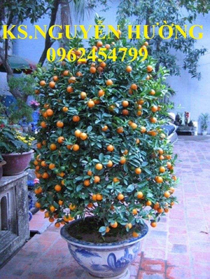 Cung cấp cây giống quất chua, quất ngọt, kỹ thuật trồng cây quất, giao cây toàn quốc