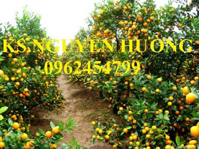 Cung cấp cây giống quất chua, quất ngọt, kỹ thuật trồng cây quất, giao cây toàn quốc5