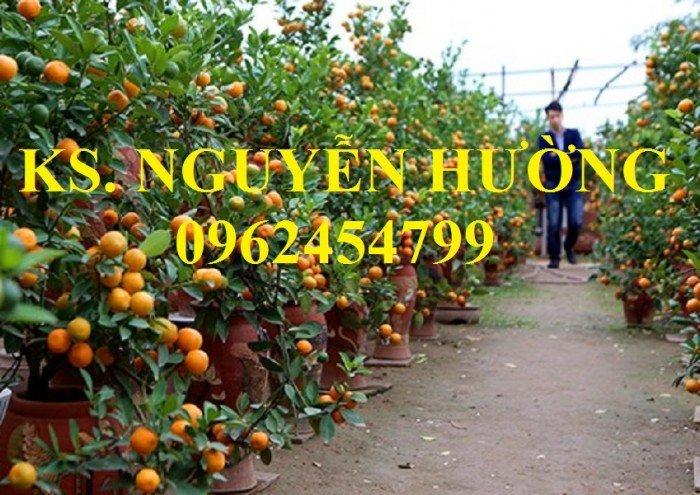 Cung cấp cây giống quất chua, quất ngọt, kỹ thuật trồng cây quất, giao cây toàn quốc9