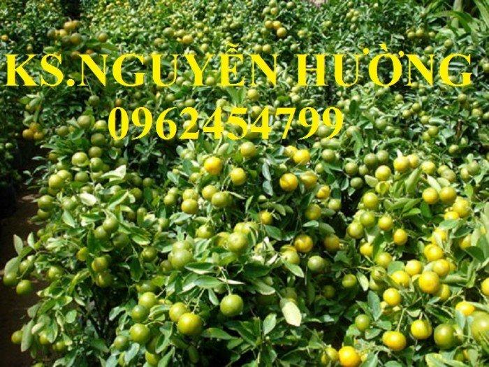 Cung cấp cây giống quất chua, quất ngọt, kỹ thuật trồng cây quất, giao cây toàn quốc6
