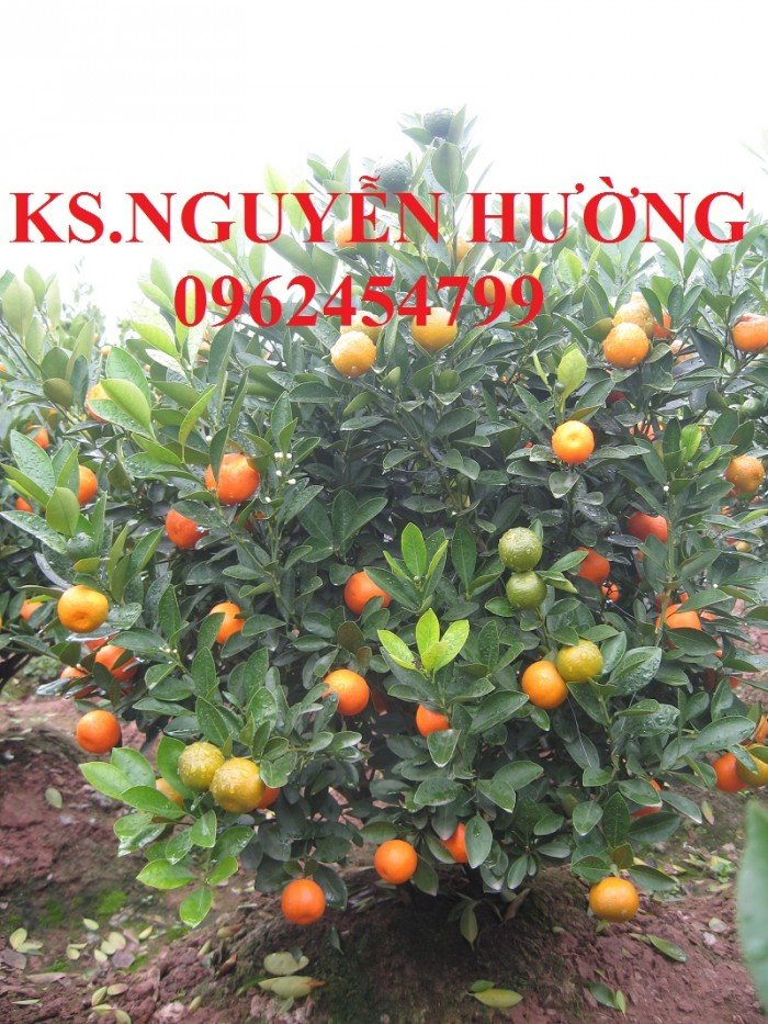Cung cấp cây giống quất chua, quất ngọt, kỹ thuật trồng cây quất, giao cây toàn quốc2