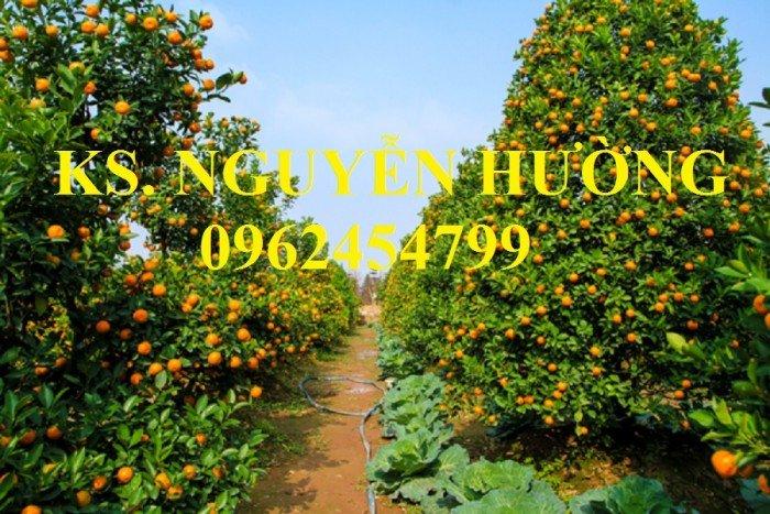 Cung cấp cây giống quất chua, quất ngọt, kỹ thuật trồng cây quất, giao cây toàn quốc11