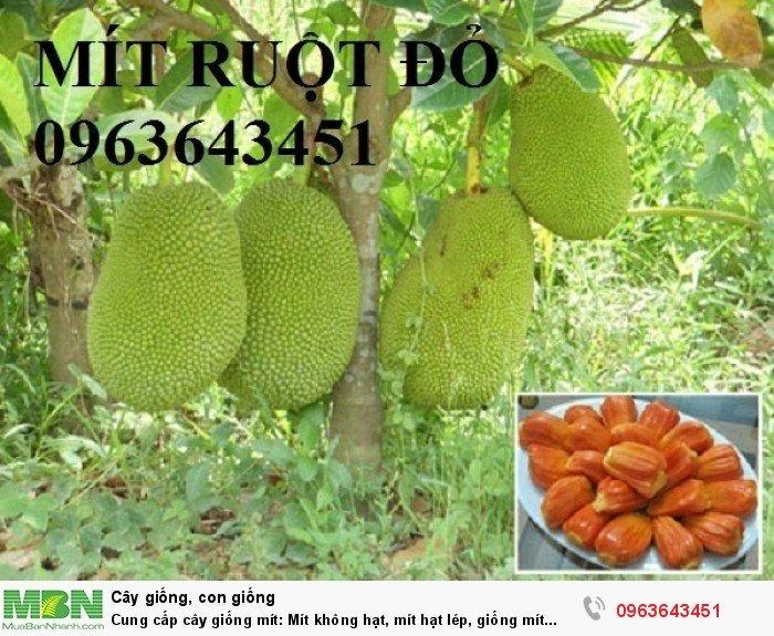 Cung cấp cây giống mít: Mít không hạt, mít hạt lép, giống mít ruột đỏ, mít ruột gấc, mít tứ quý siêu quả11