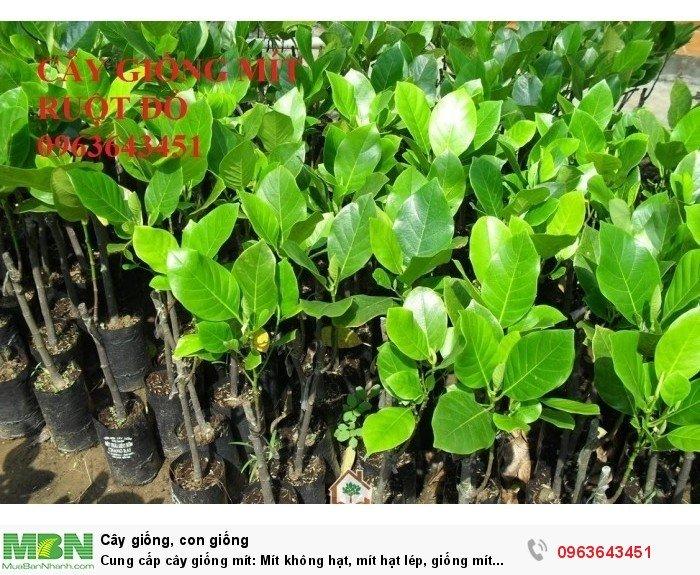 Cung cấp cây giống mít: Mít không hạt, mít hạt lép, giống mít ruột đỏ, mít ruột gấc, mít tứ quý siêu quả16
