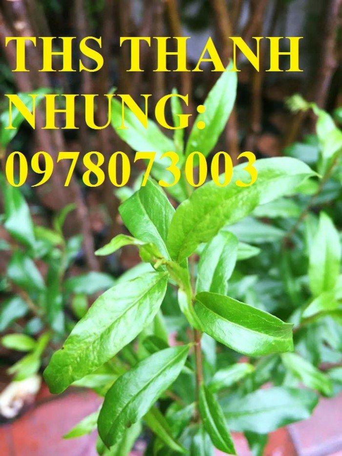 Địa chỉ cung cấp cây giống lựu lùn, cây lựu lùn Ấn Độ, cung cấp cây giống toàn quốc0