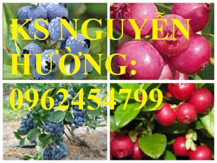 Địa chỉ chuyên cung cấp cây giống việt quất, hướng dẫn cách trồng và chăm sóc cây việt quất5