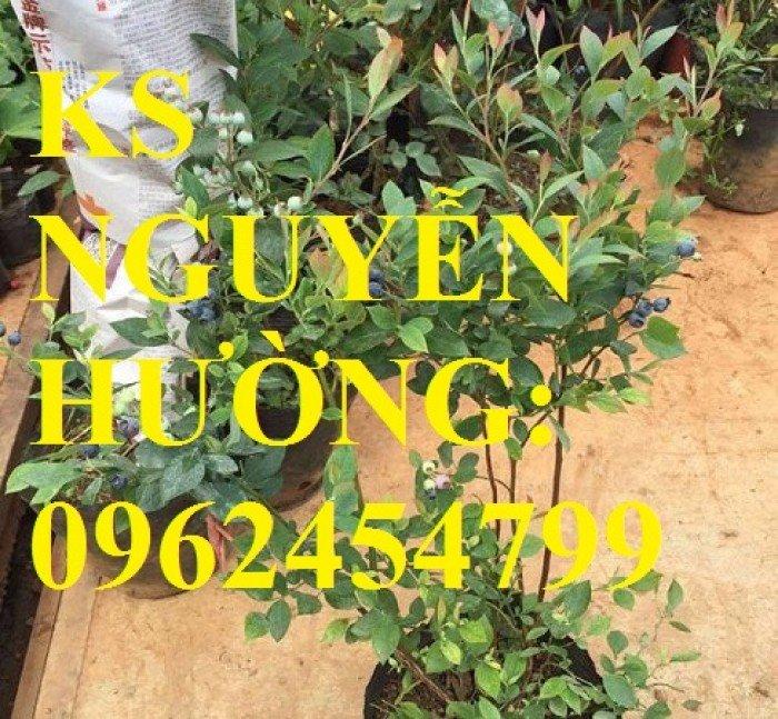 Địa chỉ chuyên cung cấp cây giống việt quất, hướng dẫn cách trồng và chăm sóc cây việt quất2