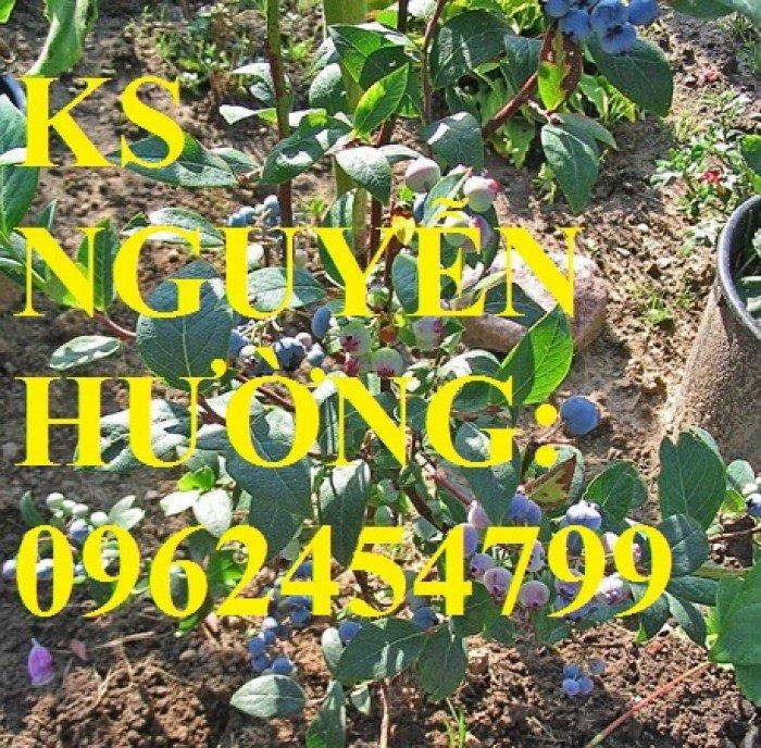 Địa chỉ chuyên cung cấp cây giống việt quất, hướng dẫn cách trồng và chăm sóc cây việt quất3