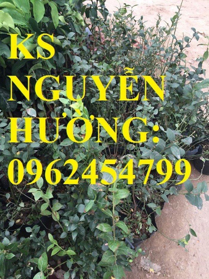 Địa chỉ chuyên cung cấp cây giống việt quất, hướng dẫn cách trồng và chăm sóc cây việt quất1