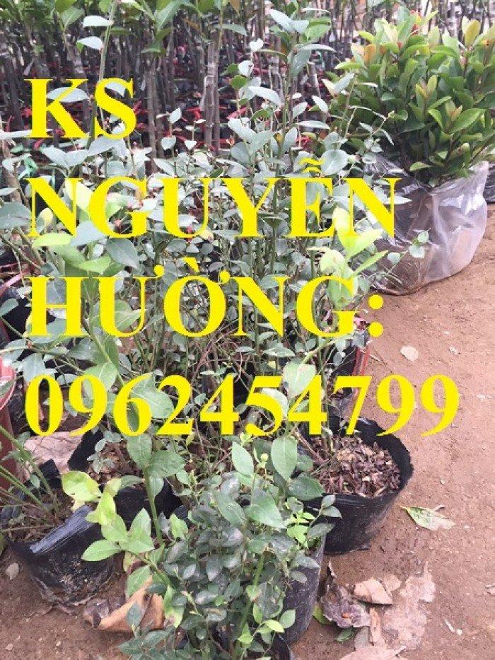 Địa chỉ chuyên cung cấp cây giống việt quất, hướng dẫn cách trồng và chăm sóc cây việt quất0