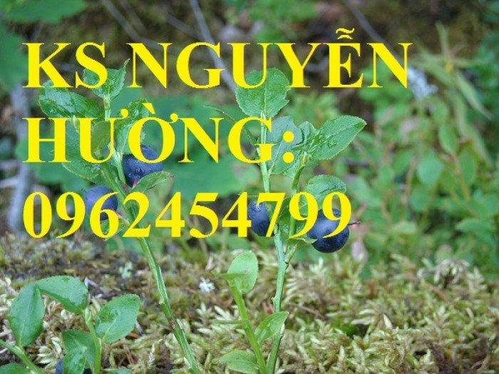Địa chỉ chuyên cung cấp cây giống việt quất, hướng dẫn cách trồng và chăm sóc cây việt quất4