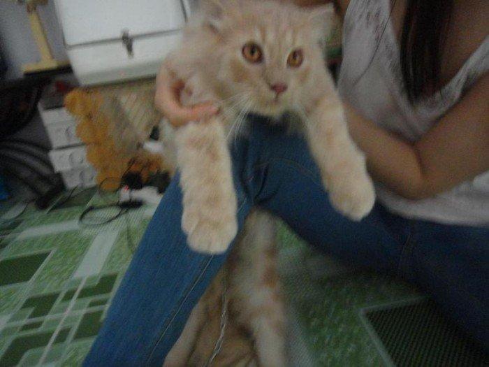 Mèo sottish lông dài màu hồng phấn tai cụp4