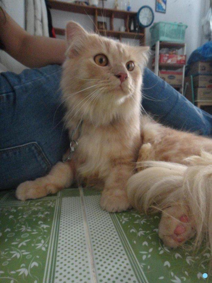 Mèo sottish lông dài màu hồng phấn tai cụp3