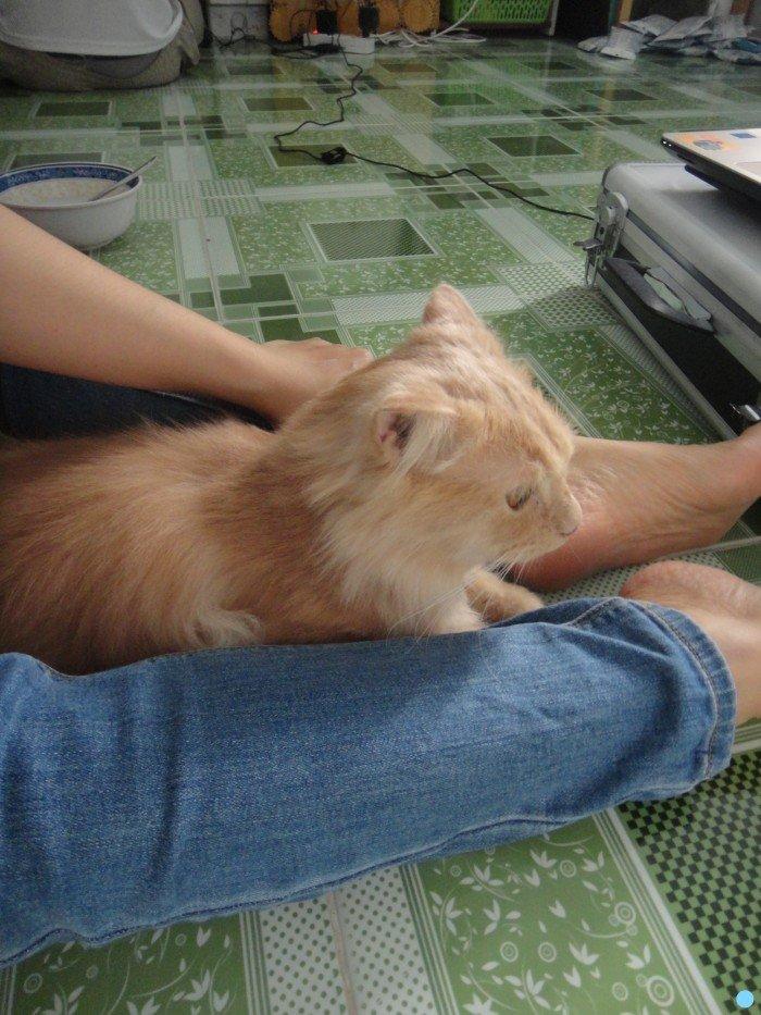 Mèo sottish lông dài màu hồng phấn tai cụp1