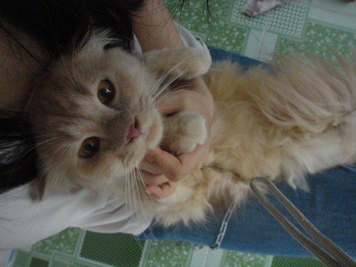 Mèo sottish lông dài màu hồng phấn tai cụp0