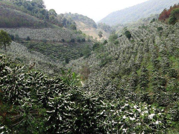 Cần bán vườn cà phê tại Thôn 3-Mê Linh-Lâm Hà-Lâm Đồng