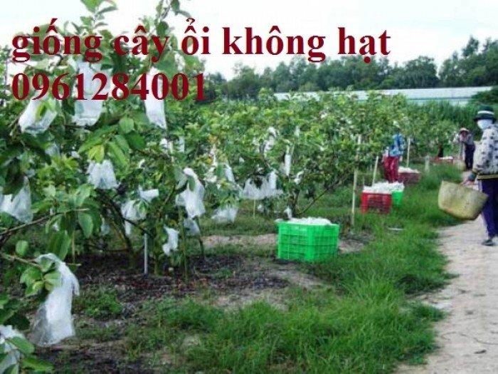 Bán cây giống ổi không hạt, ổi xá lị, giống cây ổi, cây giống chất lượng cao, giao hàng toàn quốc6