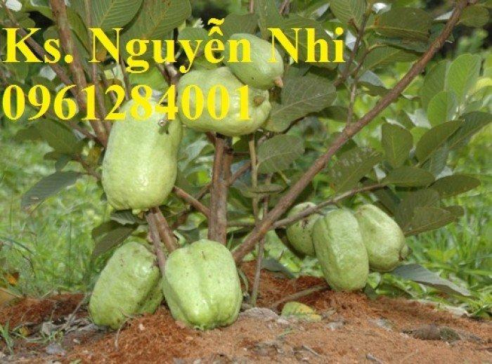 Bán cây giống ổi không hạt, ổi xá lị, giống cây ổi, cây giống chất lượng cao, giao hàng toàn quốc8
