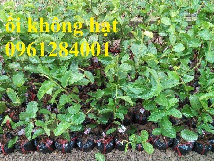 Bán cây giống ổi không hạt, ổi xá lị, giống cây ổi, cây giống chất lượng cao, giao hàng toàn quốc1