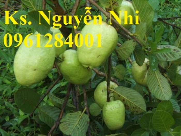 Bán cây giống ổi không hạt, ổi xá lị, giống cây ổi, cây giống chất lượng cao, giao hàng toàn quốc4